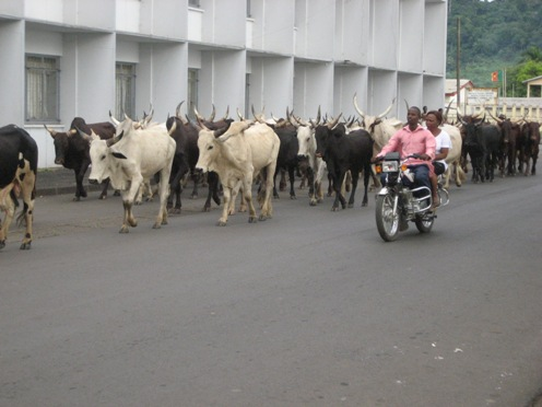 Parade of the Cows in Limbe