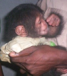 Baby_chimpanzee_rescued